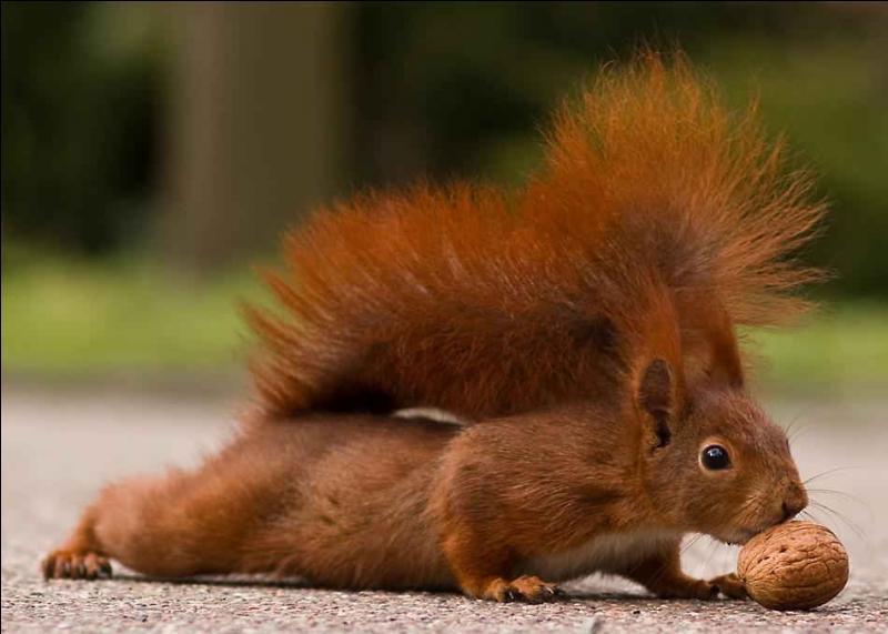 Le principal prédateur de l'écureuil roux de nos forêts européennes est la belette !