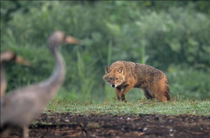 Ce renard s'apprête à attaquer !