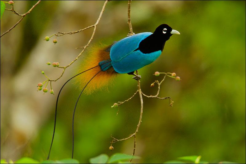 Pour admirer un oiseau de Paradis, vous devez aller en Papouasie Nouvelle-Guinée !