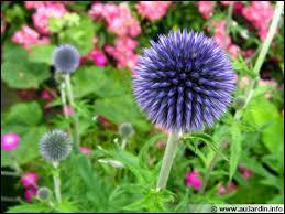 Certes elle est un peu piquante, mais on dirait des bouquets de feux d'artifice d'un si joli bleu. C'est le chardon bleu qu'on appelle aussi... ?