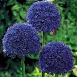 Et voici sa proche cousine, au moins par la forme, qui agrémente magnifiquement les jardins de ses boules bleues. C'est ?