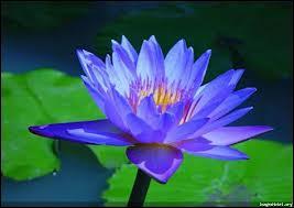 Il serait difficile de ne pas reconnaître cette belle fleur dans sa teinte bleu, car elle est déjà fort célèbre...