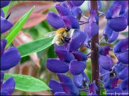 Cette haute fleur absolument ravissante orne de bien des couleurs le jardin. La voici en bleu, c'est ?