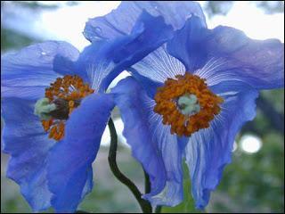 Ces superbes fleurs bleues portent un nom indiquant qu'elles viennent de l'Himalaya. Ce sont ?