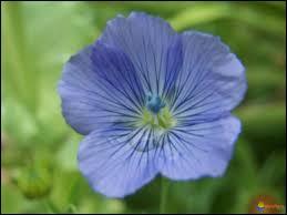 Ce bleu délicat de cette belle fleur est celui de la fleur de... ?