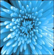 Il n'est pas fréquent de les voir en bleu, et on peut supposer que cette teinte, si elle est belle, est sans doute artificelle. Quelle est cette fleur ?