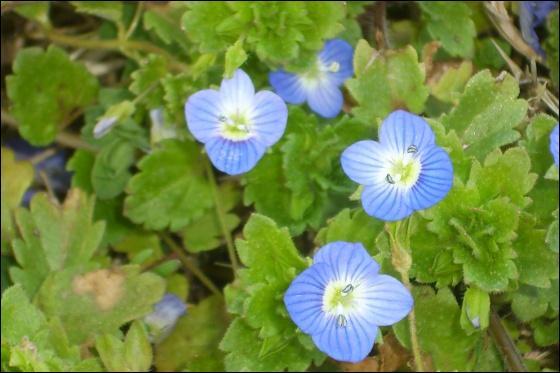 La jolie toute petite fleur des bords de chemin, juste à la taille de la main des petits enfants qui en font des bouquets, d'un joli bleu clair, c'est ?