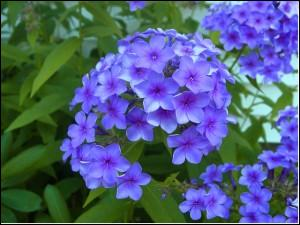 Encore une belle et haute fleur des jardins que celle-ci d'un joli bleu de porcelaine. Quel est son nom ?