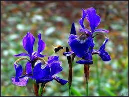 Encore un bleu splendide pour ces fleurs qui sont... ?