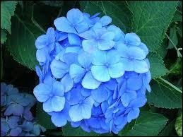 De quelle belle fleur bleue, devenue symbole des antinucléaires japonais suite à Fukushima, sont issues les petites fleurs et pétales de l'illustration ?