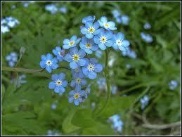 Les anglais et les allemands appellent celle-ci  Ne m'oubliez pas , tandis que nous, nous nommons ces jolies petites fleurs comme une certaine naïade de l'Antiquité... ?
