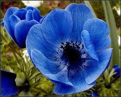 Cette très belle fleur, dont les couleurs sont toujours très vives, y compris en bleu, est ?