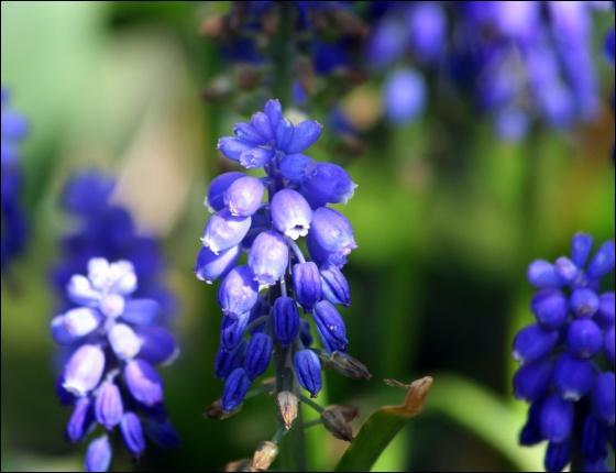 Ces hampes aux joliesclochettes bleues peuvent couvrir des parterres entiers. Ce sont ?