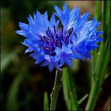 La nature est... BLEUE : les fleurs