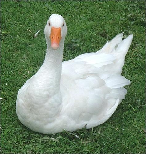 Qu'est-ce qu'une oie blanche ?