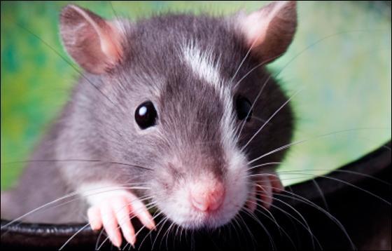 Qu'est-ce qu'un rat d'hôtel ?
