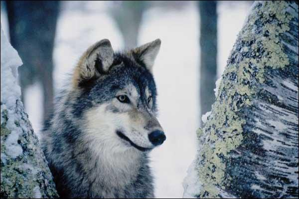 Qui est morte de la rage à cause d'une morsure de loup ?
