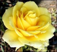 De quelle couleur est cette rose ?
