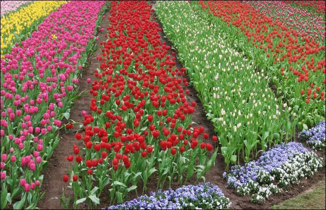 Pour retrouver le titre de cette chanson de Cora, ce champ de tulipes est absolument  Capitale , et la faute d'orthographe est voulue !