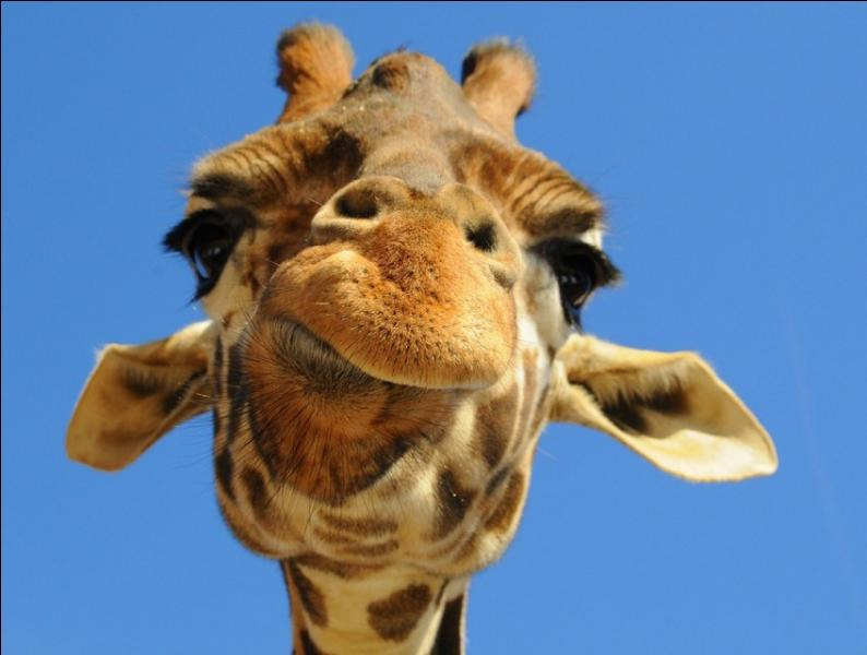 Dans quelle(s) langue(s) le mot  giraffe  est-il bien écrit ?