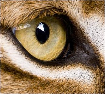 Le lynx possède une vue extraordinaire.