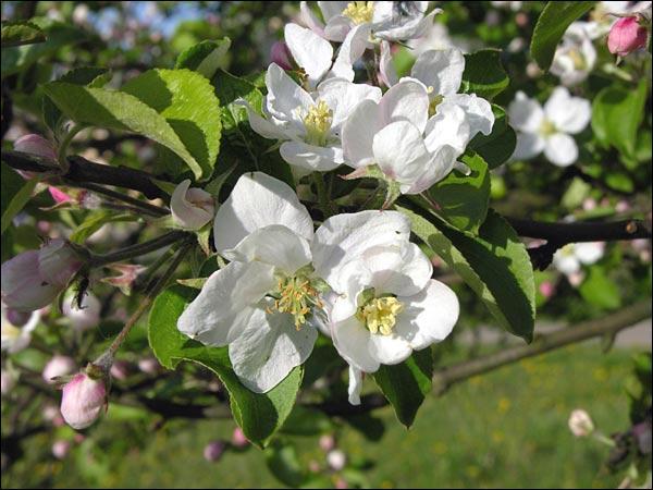 Quizz arbres fruitiers en fleur quiz fleurs nature arbres - Comment s appelle l arbre du kaki ...