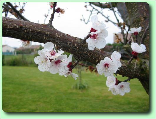 Quizz arbres fruitiers en fleur quiz fleurs nature arbres for La taille de l abricotier
