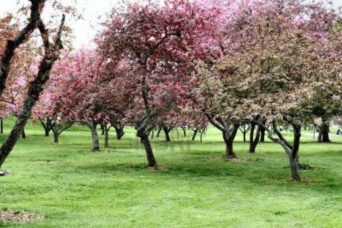 Quizz arbres fruitiers en fleur quiz fleurs nature arbres for Arbre fruitier