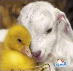 Ah, l'amour entre sa chèvre et son fils ! C'est un poussin qui est vendu pour une production de poules pondeuses ou de viande :