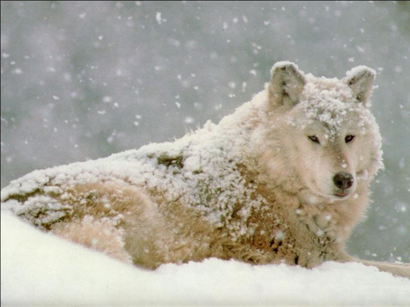 Combien de fois les loups changent-ils de pelage par an ?