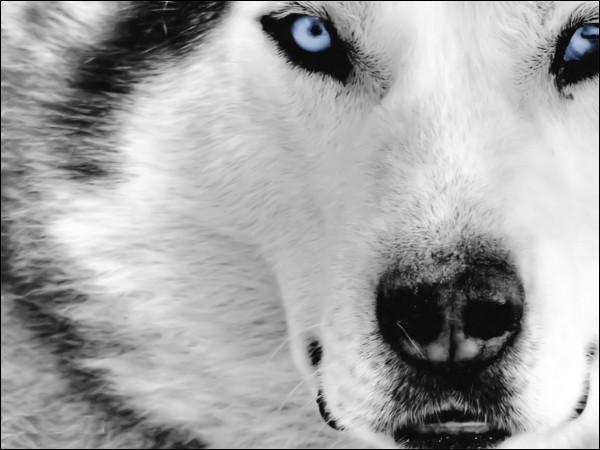 Pourquoi les loups voient-ils bien dans l'obscurité ?