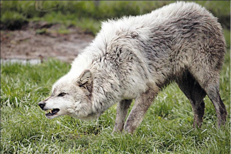 Combien de loups vivent dans les Alpes françaises ?