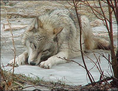 Quizz le mode de vie d 39 un loup quiz vie loups - Quantite de viande par personne par jour ...