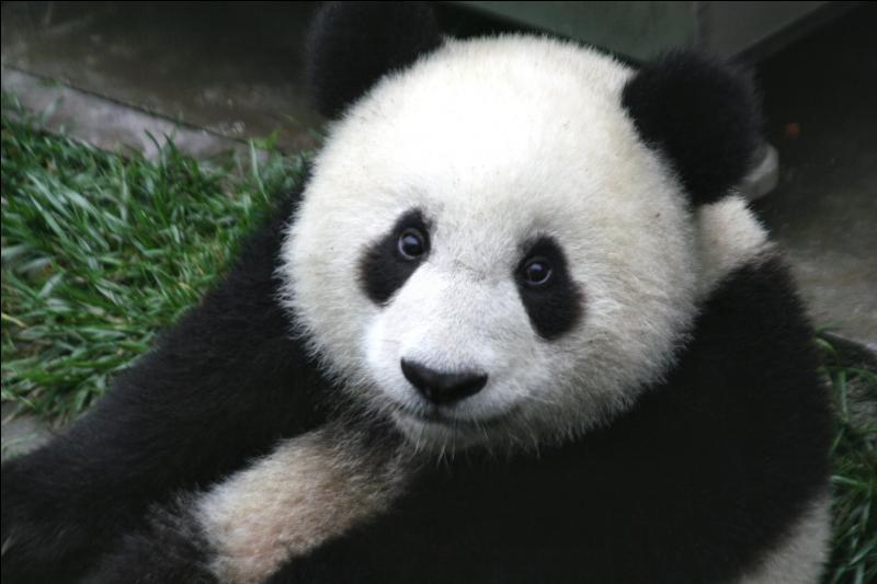 Le panda est en voie de disparition.