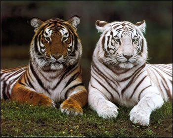 Le tigre est en voie de disparition.