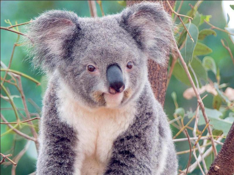 Le koala est en voie de disparition.