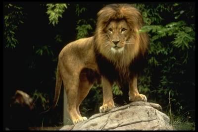 Le lion d'Asie est en voie de disparition.