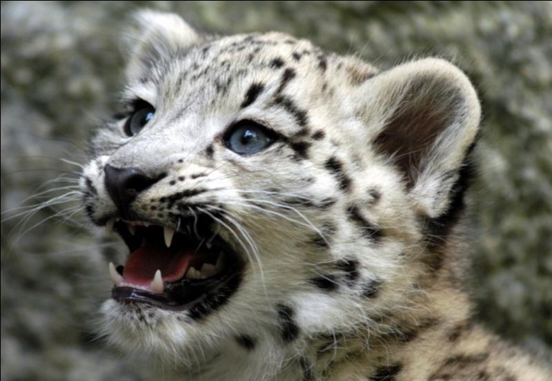 Le léopard des neiges est en voie de disparition.