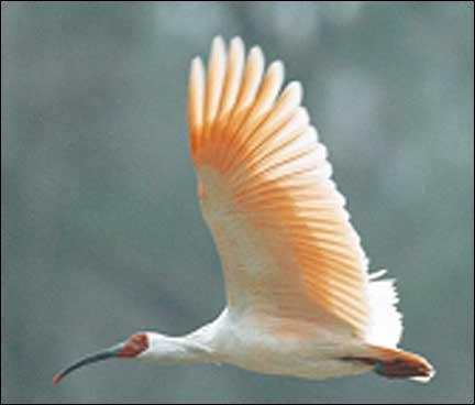 L'ibis nippon est en voie de disparition.