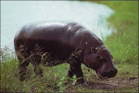 L'Hippopotame nain est en voie de disparition.