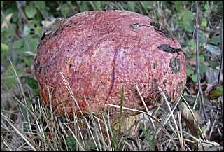 Ce champignon mystérieux s'appelle :