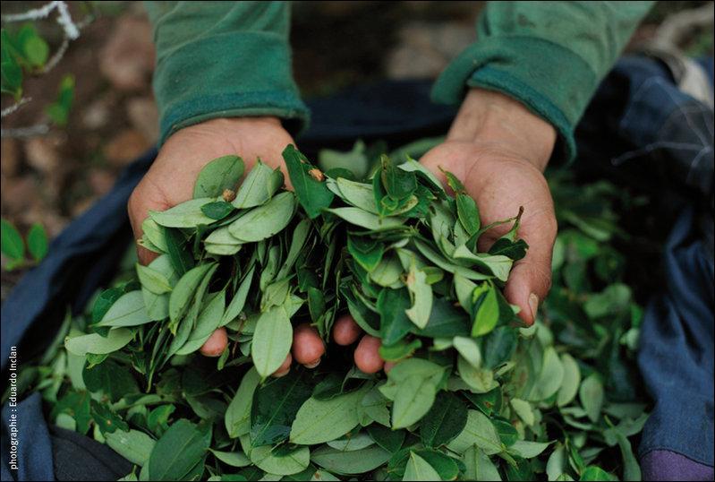 Je ne vis pas dans les Andes, et je ne mâcherai pas mes mots, trouvez cette plante !