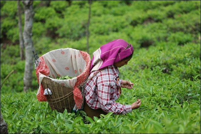 Très prisée dans tous les pays de l'ex-empire britannique, Darjeeling en est une variante réputée !