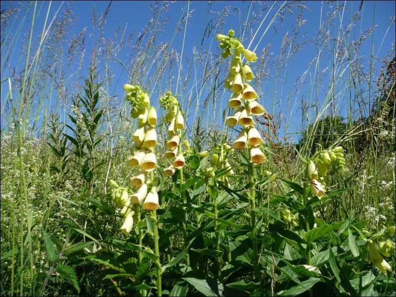 Comment s'appelle cette fleur, qui renferme un poison violent à haute dose ?