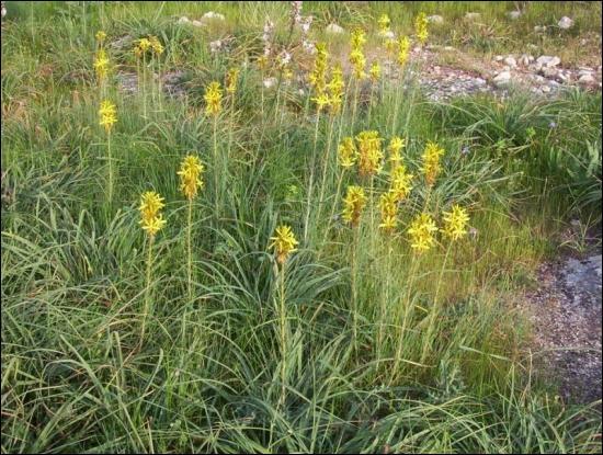 Quel est le nom de cette plante, dont Victor Hugo chante le  frais parfum  dans  Booz endormi  ?