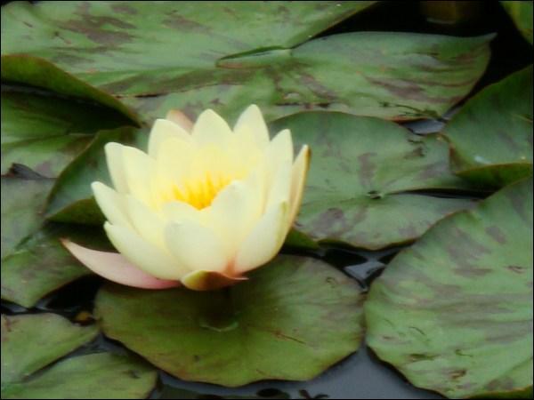 Quelle est cette fleur aquatique ?