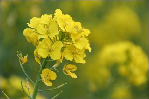 Quel est le nom de cette plante oléagineuse ?