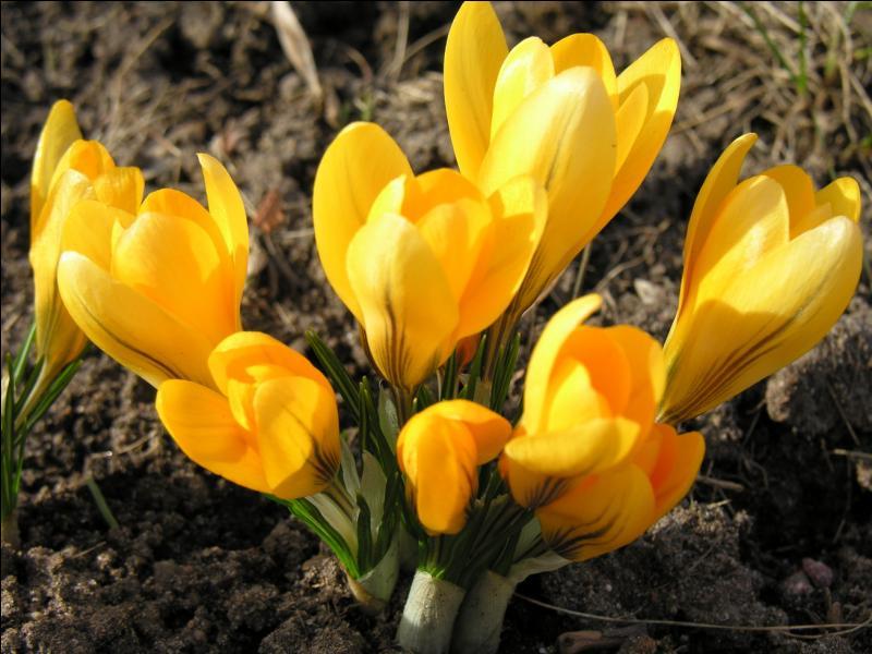 Comment s'appelle cette fleur au nom qui sonne latin ?