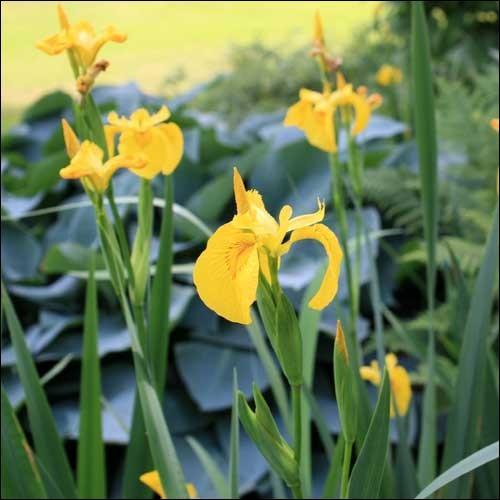 Comment s'appelle cette fleur, dont le nom peut aussi concerner notre oeil ?