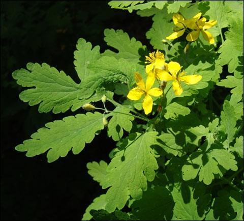 Quel est le nom de cette plante, dont le suc peut tuer les verrues ?